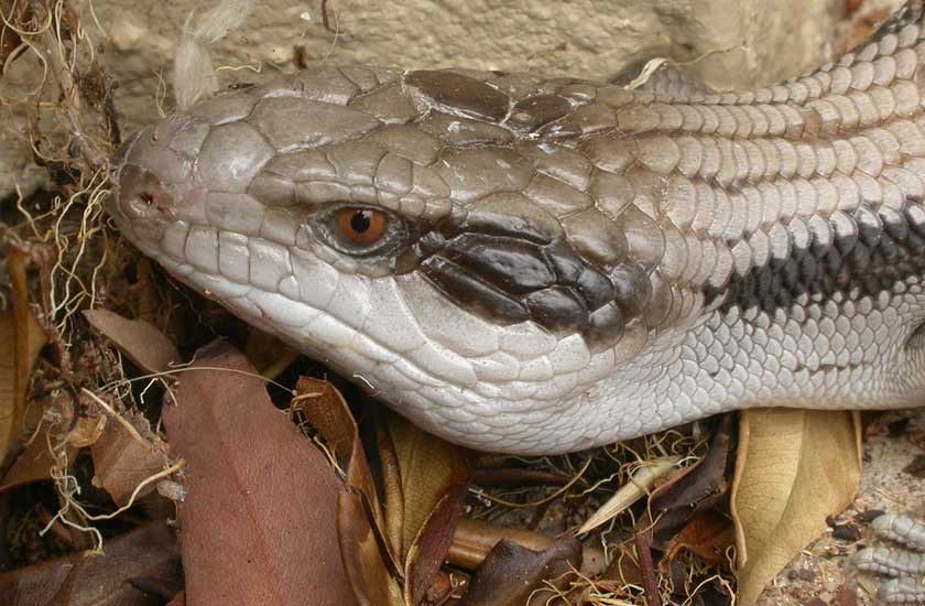 Symptoms and the Treatment of Mites in Blue Tongue Skink